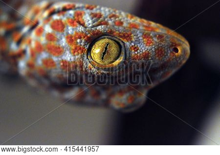 Closeup Of Exotic Reptile With Colorful Skin, Closeup Shot Of Eye Of Beautiful Colorful Reptile Toka