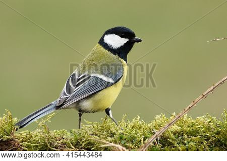 The Great Tit (parus Major) On The Green Moss. Green Background, Morning Sun.