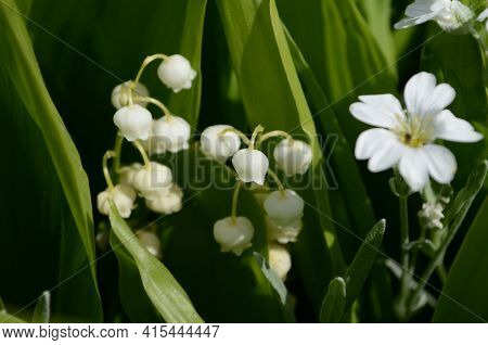 Blossoming Lily Of The Valley In The Forest. Lily-of-the-valley.convallaria Majalis.spring Backgroun
