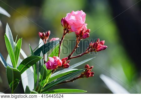 Nerium Oleander Pink Flowers Also Known As Oleander Or Nerium Is A Shrub Cultivated Worldwide In Tem