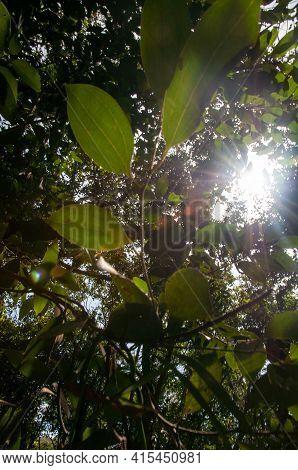 Cinnamon Leaves, Cinnamomum Verum, With Sun Back Lit. Low Angle View