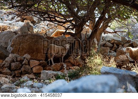 Summer View Of Few Sheep Grazing On The Stara Baska Hill, Croatia
