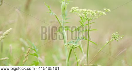 Beautiful Delicate Plant Aegopodium With Blooming Umbellate Inflorescence