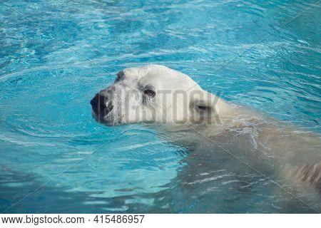 Big Polar Bear Is Swimming In The Water. Ursus Maritimus Or Thalarctos Maritimus. Animals In Wildlif