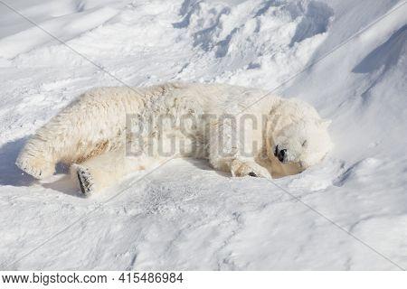 Polar Bear Cub Is Sleeping On The White Snow. Ursus Maritimus Or Thalarctos Maritimus. Animals In Wi