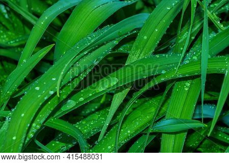 Natural Green Background. Summer Raindrops Close-up On The Green Leaves Of A Daylily (latin: Hemeroc