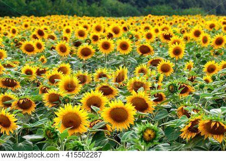 A Field Of Yellow Sunflowers. Sunflower Blooming. Sunflower Background. Sunflower Field Landscape.