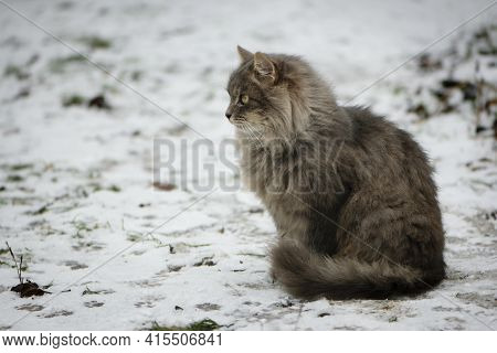 Gray Fluffy Cat Close-up Sits On The Snow In Winter. Beautiful Home Animal. Shaggy Ash-colored Cat.