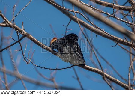 Red-winged Backbird (agelaius Phoeniceus) Perched On A Tree Limb With A Blue Background
