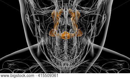 Human Skeleton Palatine Bone Anatomy 3D