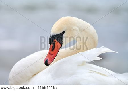 Portrait Of Large White Mute Swan Next To Baltic Sea, Macro. Close Up Photo Of Swan Head, Showing De