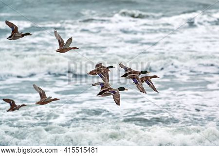 Mallard Waterfowl Birds Flying Over Sea Water. Seascape Of Hovering Birds Against Background Of Blue