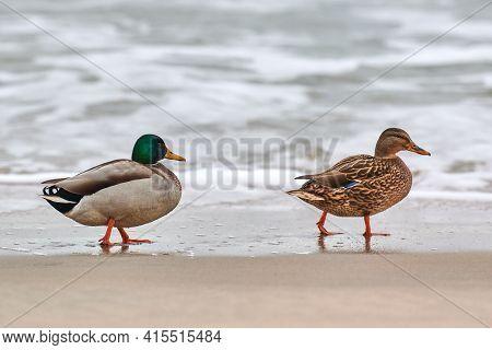 Two Mallard Waterfowl Birds Walking Near Baltic Sea. Close Up Of Anas Platyrhynchos, Mallard Duck. C