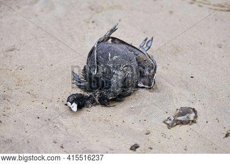 Dead Body Of Bird, Eurasian Or Australian Coot, Fulica Atra, On Polluted Sandy Beach. Marine Birds E