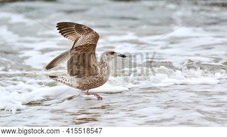 Yellow-legged Gull, Larus Michahellis, Splashing In Baltic Sea Water. Close Up View Of Juvenile Seag