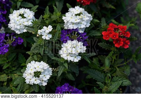 Mixed Colored Verbena Flowers In A Sunny Summer Garden, White, Red And Blue, Top View Of Beautiful O