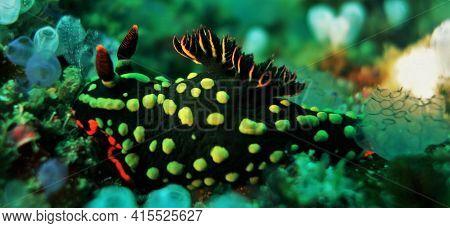 Stunning Sea Slug Surrounded By Blue Tunicates
