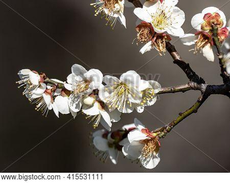 Japanese Plum Blossoms In Full Bloom In An Ume Plum Orchard Near Yokohama, Japan.