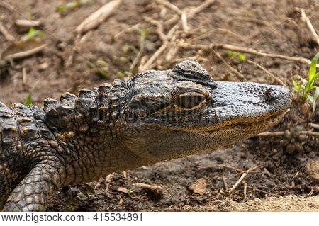 A Close Up Of A Baby Crocodile Soaking Up The Sun