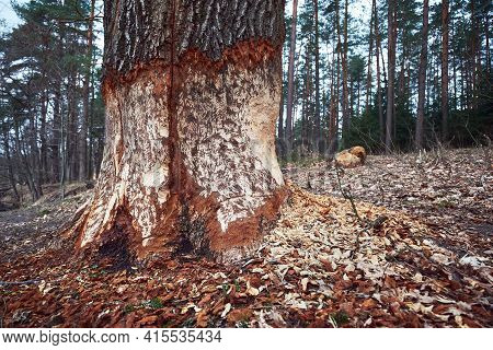 Huge Tree With Beaver Teeth Marks. Tree Trunk Nibbled By Wild Forest Beaver.