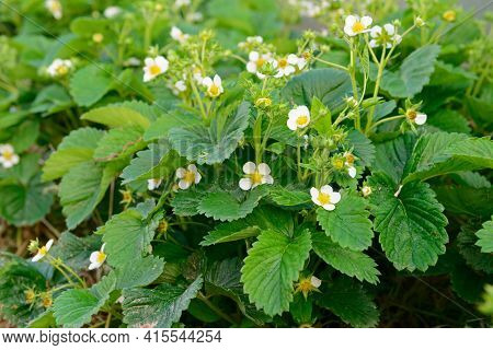 Strawberry Bush With White Flowers In The Garden
