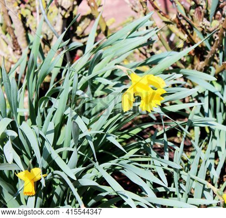 Front View Of Narcissus Pseudonarcissus, Commonly Known As Wild Daffodil Or Lent Lily, Is A Perennia