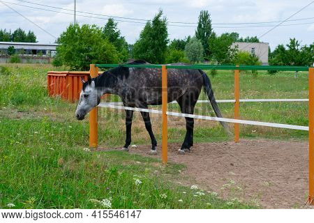 Young Bay Suit Horse Is Standing Inside Of Paddock. Farmyard In Ranch On Countryside