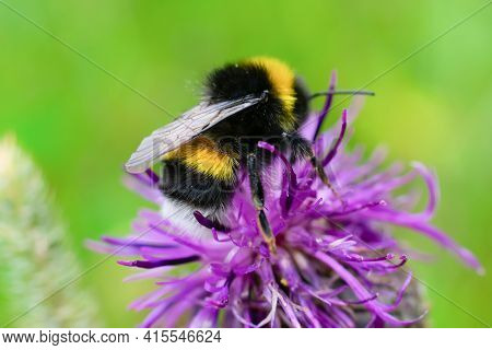 Furry striped bumblebee is sitting and collecting on pink thistle on daylight at summertime. Extreme
