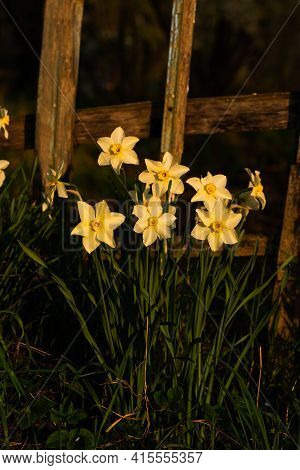 Daffodils On Old Wooden Fence Background. Macro Of First Spring White Daffodil Flowers In Morning Su