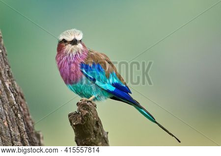 The lilac-breasted roller (Coracias caudatus) sitting on the branch.Lilac colored bird with green background.A typical African bird predator sitting on a thin branch