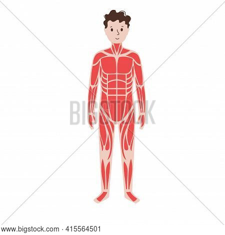 Human Muscular System. Structure Of Muscle Groups And Ligaments Of Women In Front View. Biceps, Trap