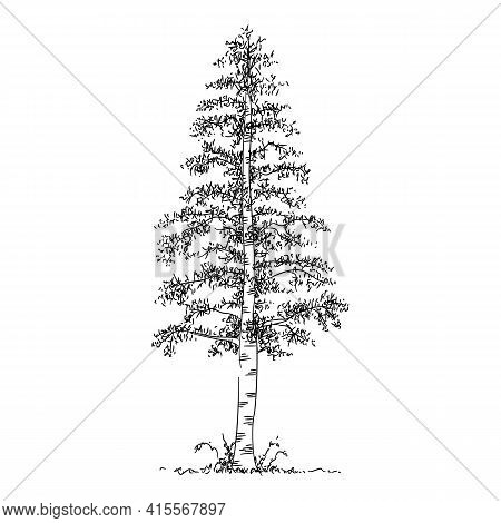 Birch Tree Icon. Hand Drawn And Outline Illustration Of Birch Tree Vector Icon For Web Design