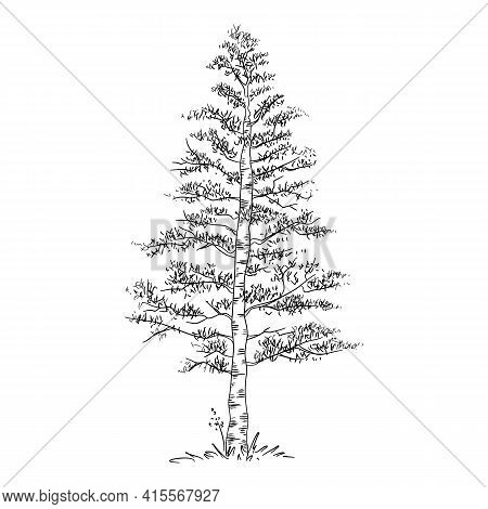 Forest Birch Tree Icon. Hand Drawn And Outline Illustration Of Forest Birch Tree Vector Icon For Web