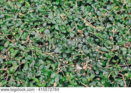 Fukien Tea Or Philippine Tea (carmona Retusa (vahl) Masam) Fresh Green Leaves In The Tropical Garden