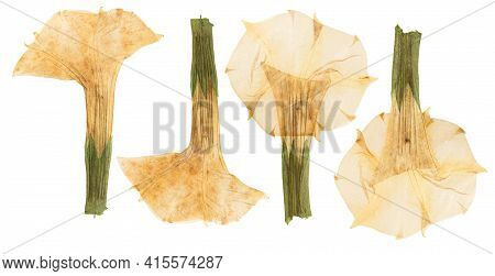 Pressed And Dried Flower Datura, Isolated On White Background. For Use In Scrapbooking, Floristry Or