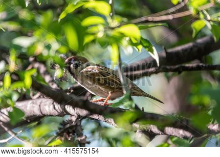 The House Sparrow, Passer Domesticus, Sitting On A Branch With Green Leaves With Feathers In Its Bea
