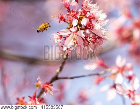 A Honey Bee Flies Around Feeding From And Pollinating Pink Plum Blossoms Near An Orchard In Yokohama