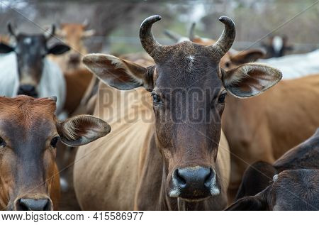 Brown Horned Cows Of Native Species In The Cattlepen At Farm. Cows Farm For Food Native Cattle Farms