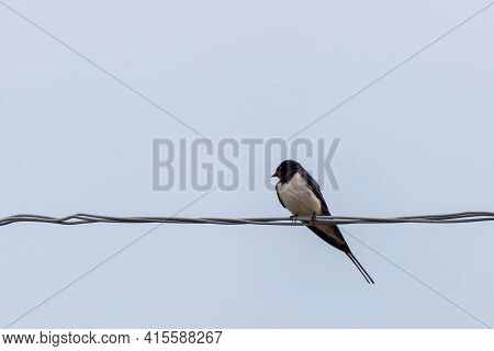 Swallow Sitting On Wires. Swallow Bird In Natural Habitat.