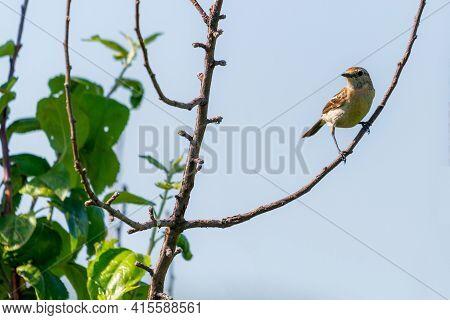 Stonechat, Saxicola Rubicola, Female Bird On Branch Close-up.