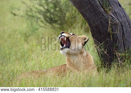 The Transvaal Lion (panthera Leo Krugeri) Also Known As The Southeast African Lion .lioness Lying Un