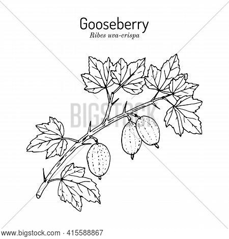 Gooseberry, Or Ribes Uva-crispa, Branch With Leaves And Fruit, Edible And Medicinal Plant. Botanical