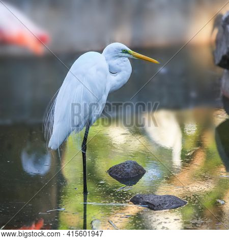 Close up shot of Great white Egret
