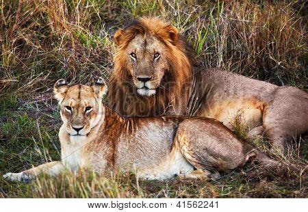 Male lion and female lion - a couple, on savanna. Safari in Serengeti, Tanzania, Africa