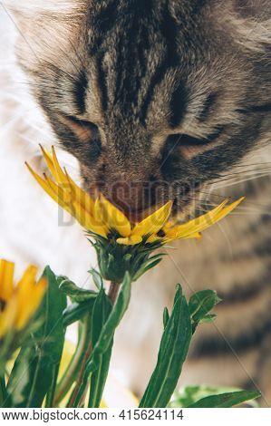 Gray Tabby Cat Sniffs Bright Yellow Flowers