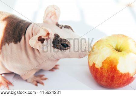 Bald Guinea Pig On A Light Background