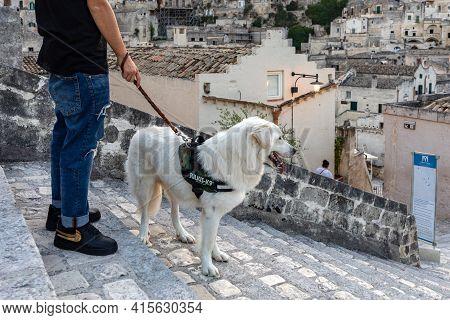 Matera, Italy - September 18, 2019: Happy Maremma Sheepdog In Matera. Big White Dog Breed Maremmano