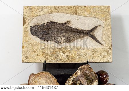 Fossilized Remains Of Fossilized Fish. High Quality Photo