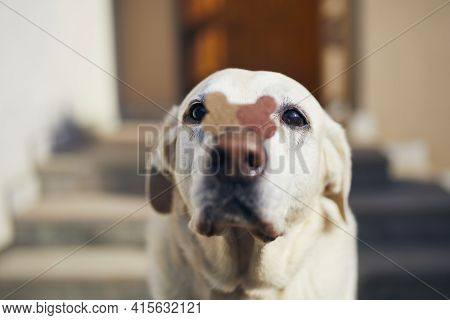 Funny Labrador Retriever Is Balancing Dog Treat With Bone Shape On Snout.