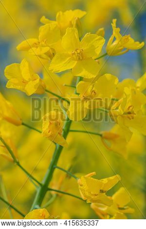 Single Oilseed Rape Plant In Bloom In A Rapeseed Field. Yellow Opened Flowers Of The Crop. Petals Wi